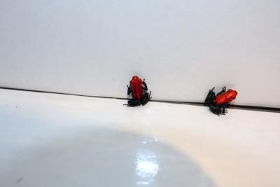 20120125-reticulatus4.jpg